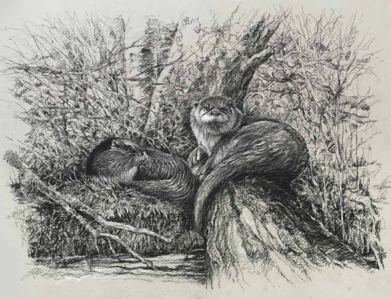 drawing of River Aln otters
